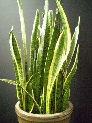 Snake Plant Tips | Sansevieria trifasciata 'Laurentii'