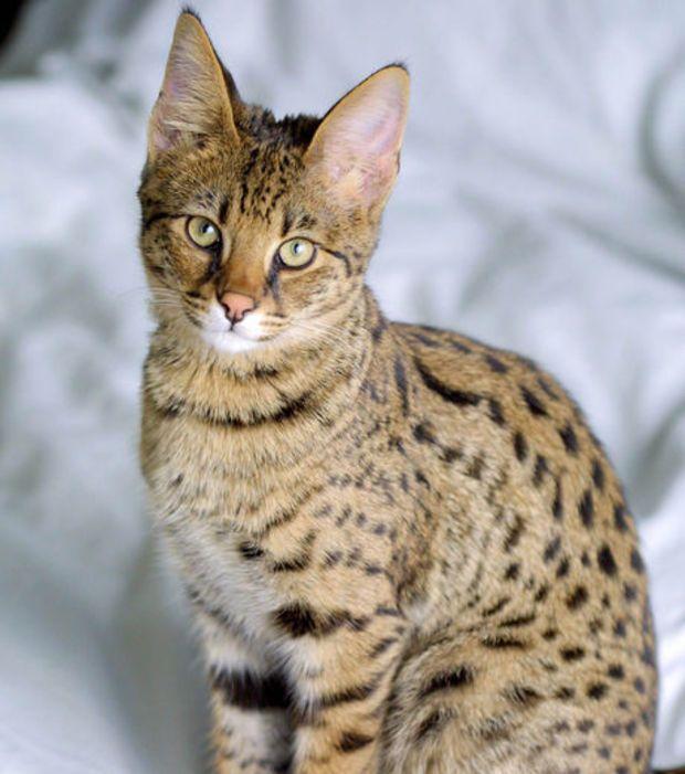 Foto : Um gato Savannah, e suas orelhas imensas