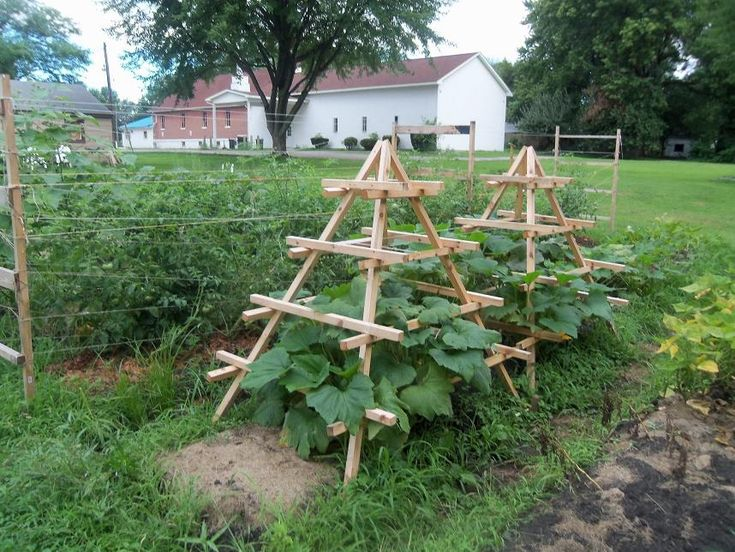 The trellises in the foreground are zuchinni plants for Pinterest trellis ideas