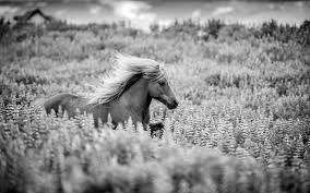 Image result for iceland horse summer