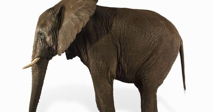 Características de los elefantes pigmeos . La población de elefantes pigmeos que quedan esencialmente han sido confinados a una pequeña zona de noreste de Borneo. Esta especie en peligro de extinción se alimenta con una dieta que influye comidas como frutas y hierbas. La deforestación amenaza la sustentabilidad del elefante pigmeo. Entre todos los diferentes elefantes del mundo, los ...