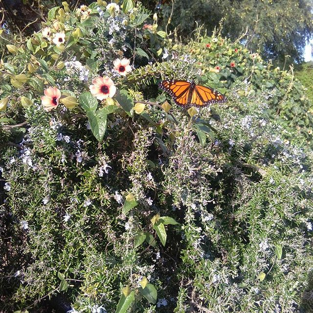 A monarch butterfly floating around the flowers in the Lake House Arts Centre garden. #pretty #flowers #monarchbutterflies #nature #ilovenature #peace #calm #lakehousearts #garden