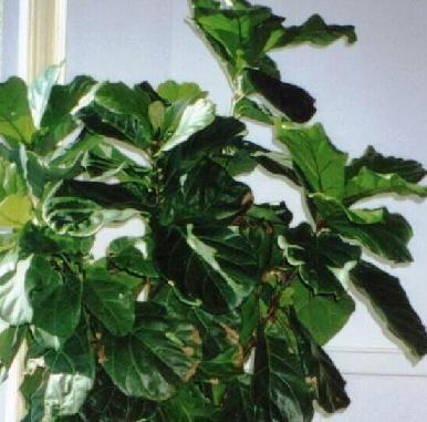 Mejores 160 im genes de ficus en pinterest ficus ficus - Ficus elastica cuidados ...