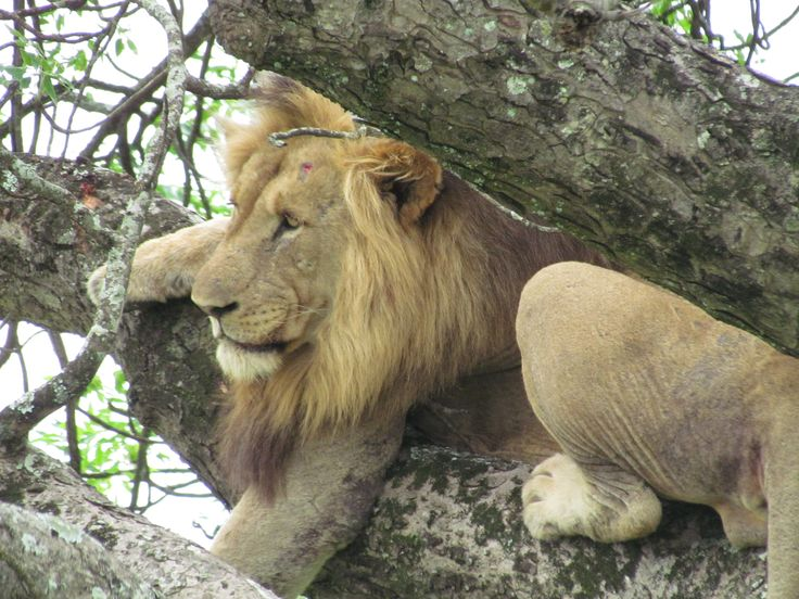 The Lions in the Hluhluwe-iMfolozi Park spend a lot of time in trees, especially Marula tress.
