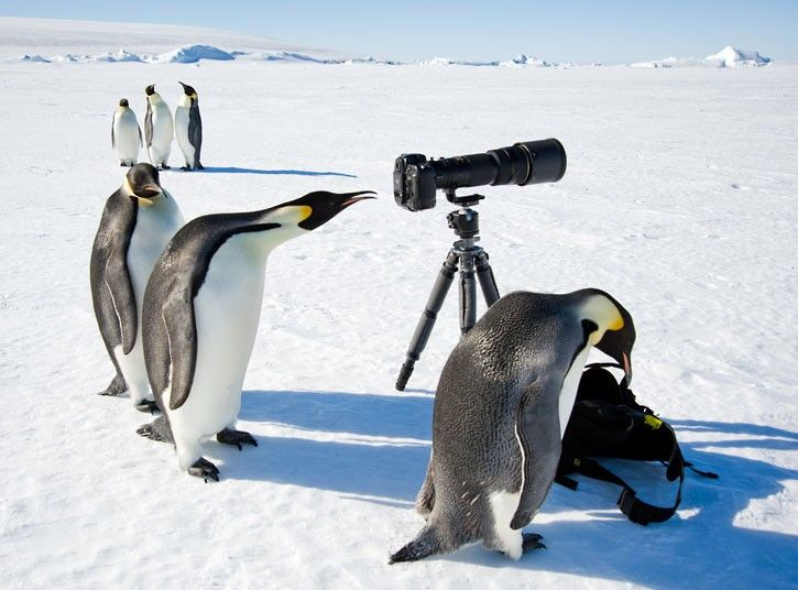 A king penguin looks into the viewfinder of a camera in Antarctica. This picture is part of a series celebrating the career of David C Schultz, who has spent years photographing the frozen landscape and its inhabitants.  Picture: David C Schultz/Barcroft Media