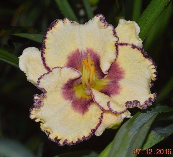 PLANTS-DAYLILY- H.'Sunday Sandals'  #Plants