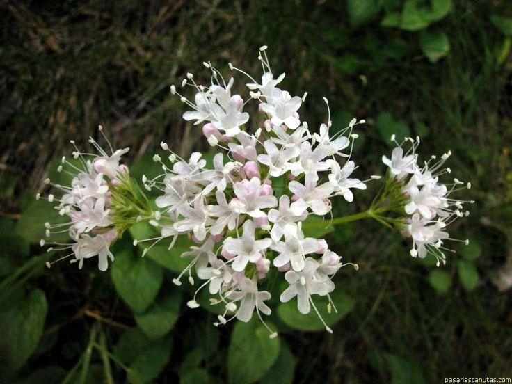 la flor de la canela planta - Buscar con Google | Canela ...