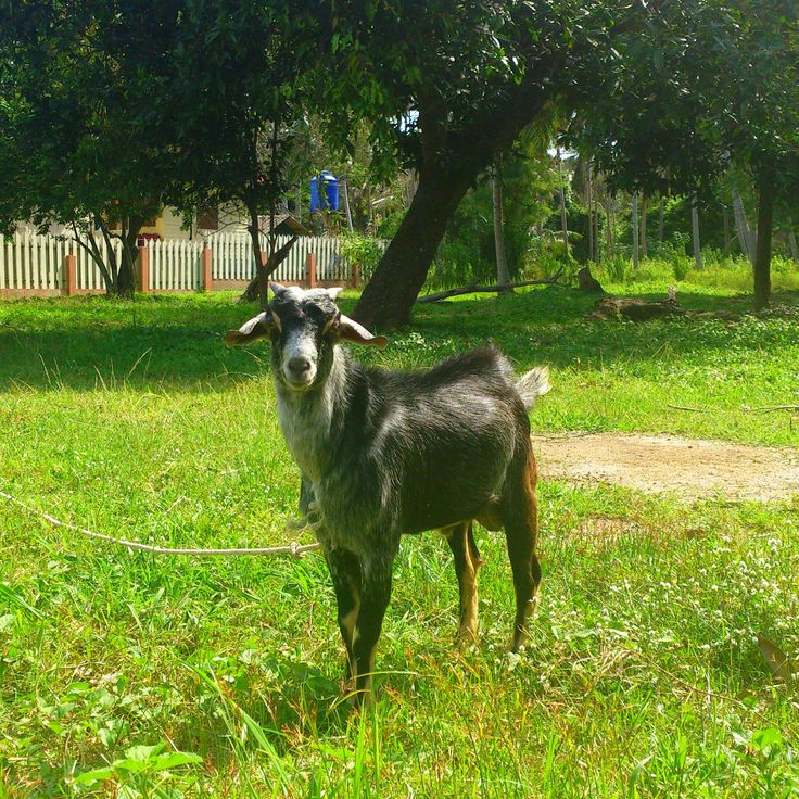 #samui #animal #goat