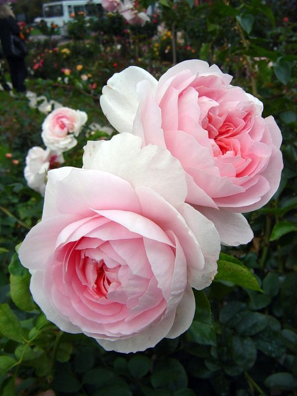 'Wildeve'| Shrub. English Rose Collection. Bred by David C. H. Austin (United Kingdom, before 2003)