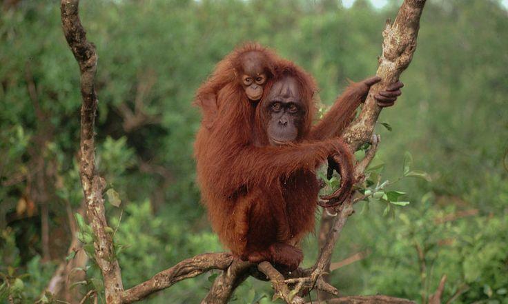 Bornean Orangutan WWF