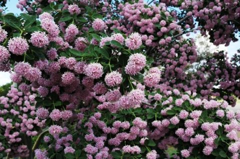 Dais Cotinifolia              Pompon Tree/Pincushion              Speldekussing/Basboom          3-7 m    (13)      S A no 521