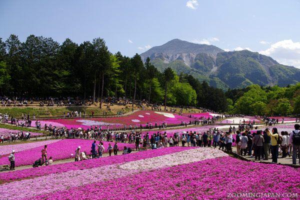 Chichibu - In Spring (Late April - late May), you can see shibazakura (pink moss) in Hitsujiyama Park.
