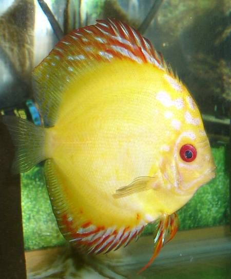 213 Best Images About Fresh Water Discus Fish On Pinterest
