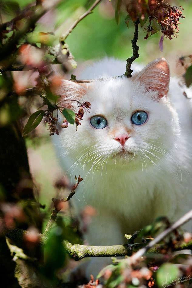 beautiful blue eyes! cat