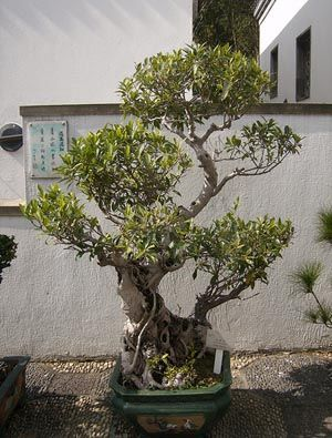 19 best Bonsai Ficus Ginseng images on Pinterest | Bonsai ficus ...