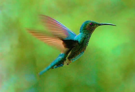 Maino' i, oiseau sacré des Mbya Guaranis
