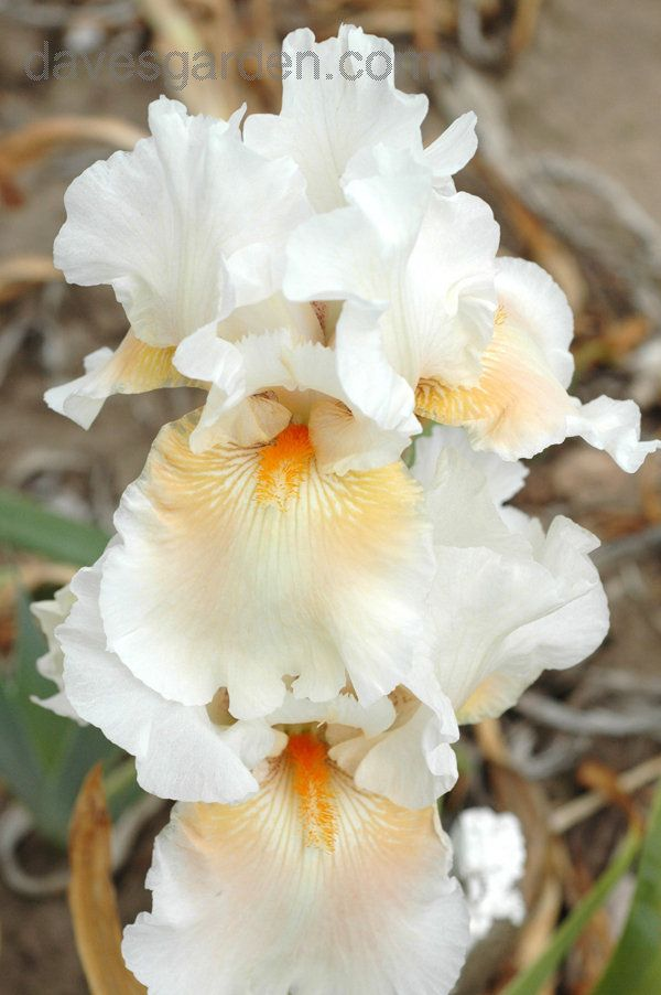 View picture of Tall Bearded Iris 'Coral Light' (Iris) at Dave's Garden. All pictures are contributed by our community.