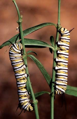 You can help monarch butterfly populations thrive by planting milkweed, the only plant the caterpillars can eat.