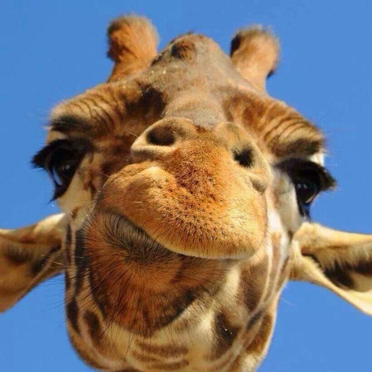 Giraffe Funny Face Giraffes Pinterest Giraffes The And