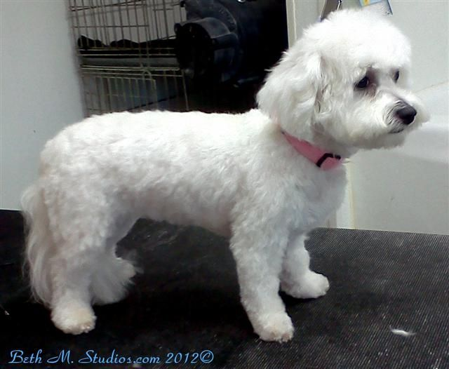 bichon frise haircut bichon cut after with breed style haircuts for 4361