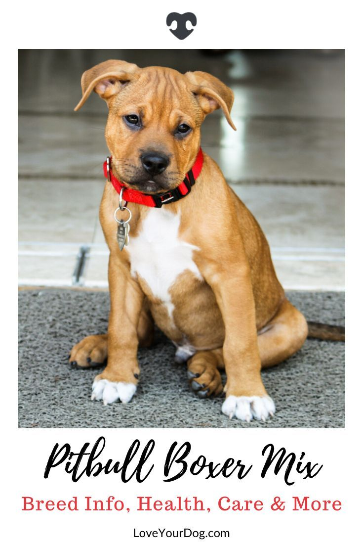 Pitbull Boxer Mix Breed Information Personality Puppies More