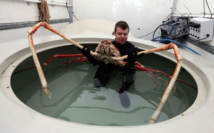 Sea Life Senior Curator Chris Brown prepares to move Japanese Spider crab named Big Daddy as it settles in to its new home at Blackpools Sea Life Centre.  The nine-foot claw-span of the giant Japanese Spider Crab, which is to be housed on the Golden Mile, makes him Europes biggest crab.
