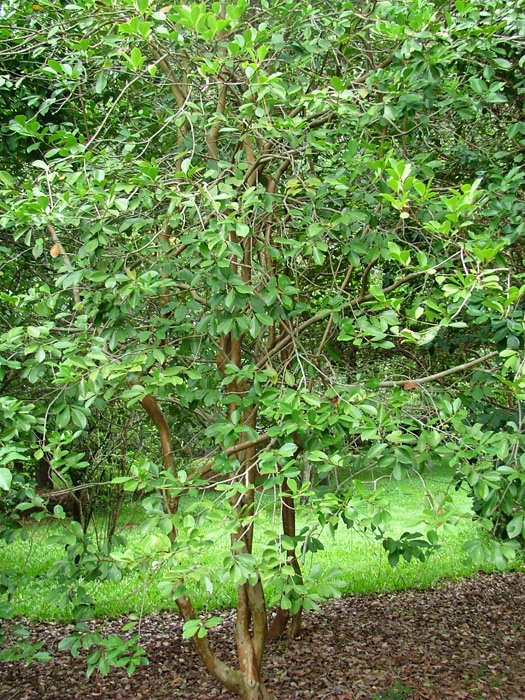 49 best images about warm te food trees shrubs on pinterest for Small bushy trees