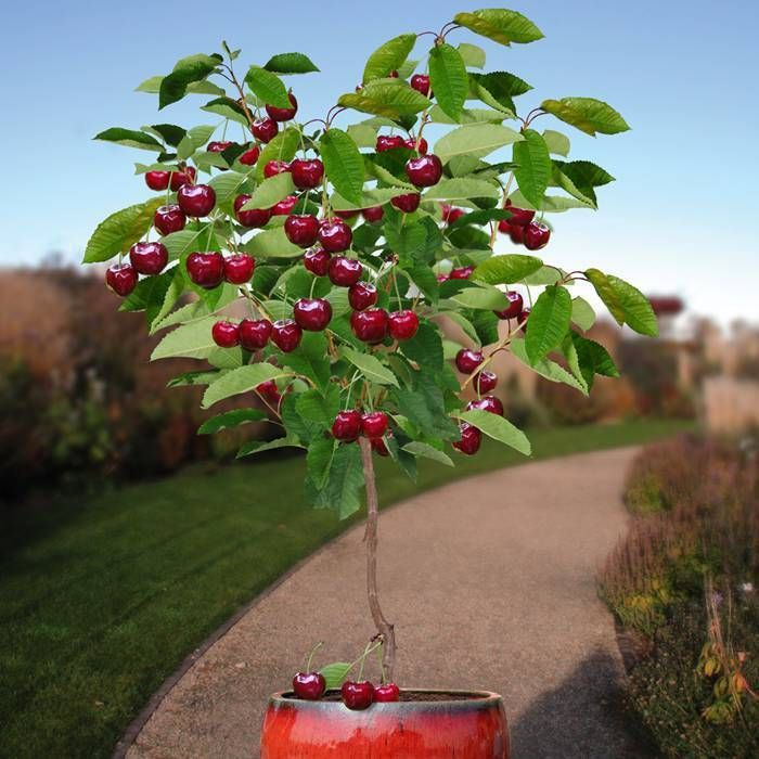 Cherry Tree Seeds ★ DWARF VALENTINE ★ Dwarf Sour Cherries ★ GMO FREE ★ 10 Seeds