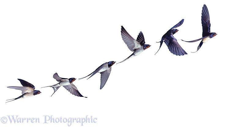 Swallow in flight series