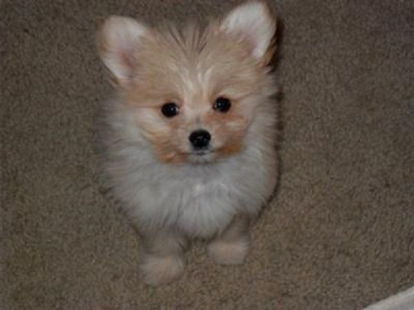 Maltese Pomeranian Mix Puppies For Sale Zoe Fans Blog Cute Baby