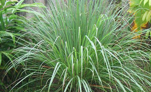 Seis tipos de plantas funcionam como repelentes naturais de insetos (lavanda, hortelã, cascata gerânio, alecrim, manjericão)