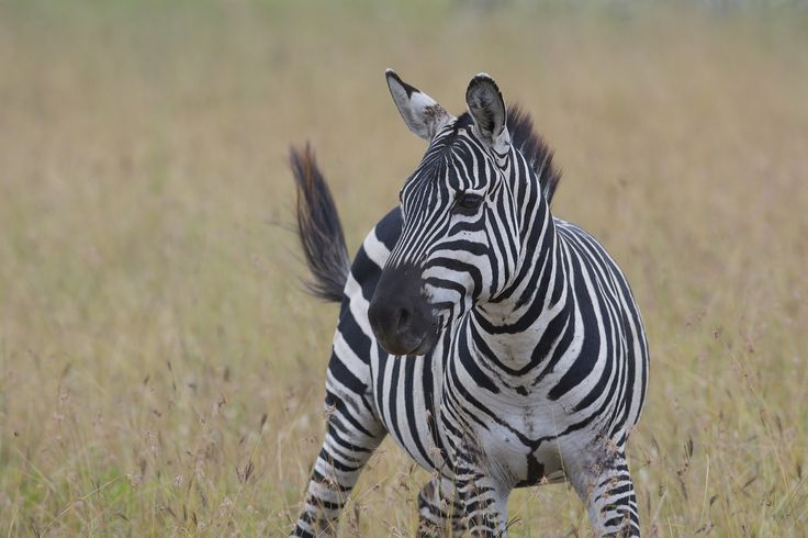 https://flic.kr/p/wT3vro | Plains Zebra (Equus quagga), Nairobi National Park, Kenya