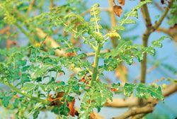Boswellia Weihrauch - Wirkung und Vorkommen von Boswellia Weihrauch - Gesund24h