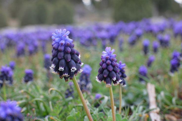 Grape Hyacinth flowers photo - WP12145