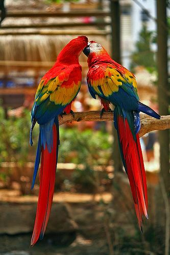 Kissing Parrots - Cute Couple http://wakeupnowwithelizabeth.com