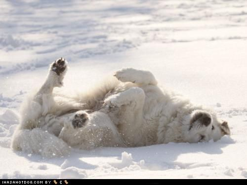 Great Pyrenees. Such big, happy dogs!