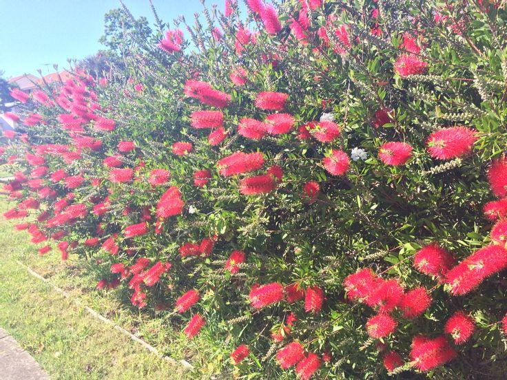 Callistemon hedge flowering