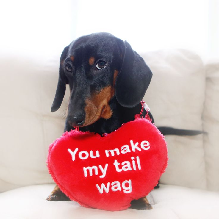 you make my tail wag dachshund doxie dachshund