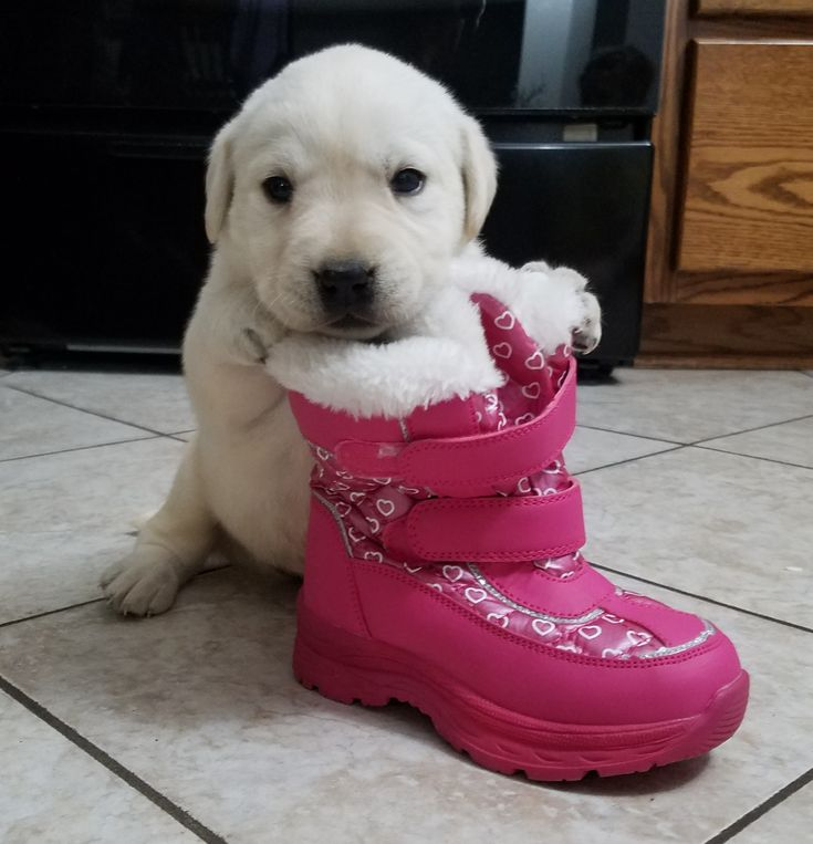 Davis male AKC Labrador Retriever pupper for sale at