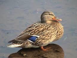 kachna divoká - vodní pták, naše největší plovavá kachna