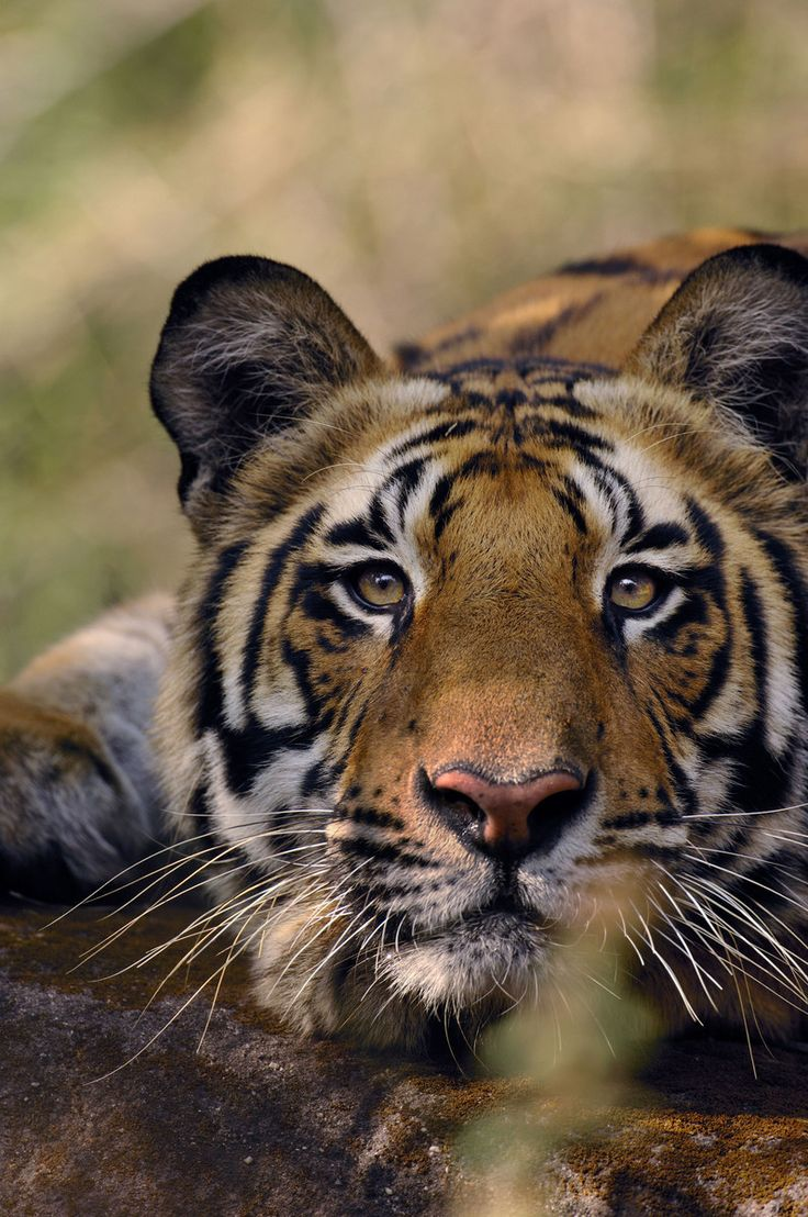 Bengal tiger ( Panthera tigris tigris ). --- 18 Animals Who Really Need Our Help Right Now