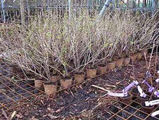 Ziektetolerante kruisbessen planten en snoeien.