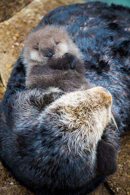 Wild sea otter pup born in Monterey Bay Aquarium's Great Tide Pool! - December 21, 2015