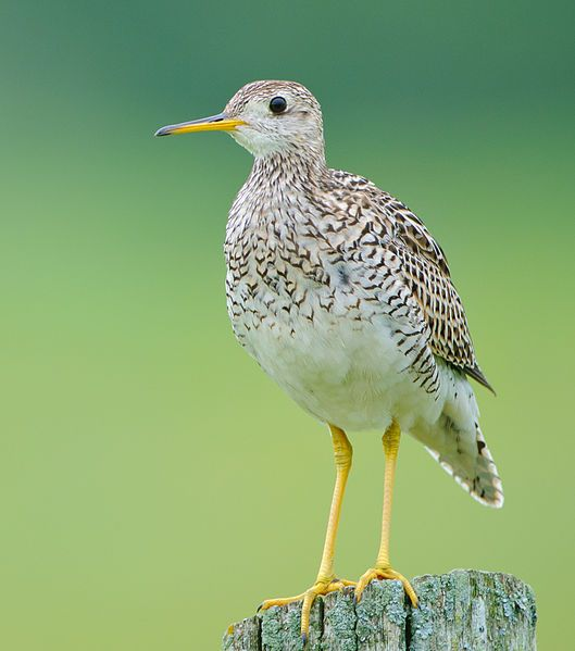 The Upland Sandpiper (Bartramia longicauda) is a large sandpiper species, closely related to the curlews, found across central North America and Alaska. Unlike other members of its family, it is not associated with water, but instead lives in fields and open grassland. It is a long-distance migrant and winters in South America.  Photo: Johnathan Nightingale
