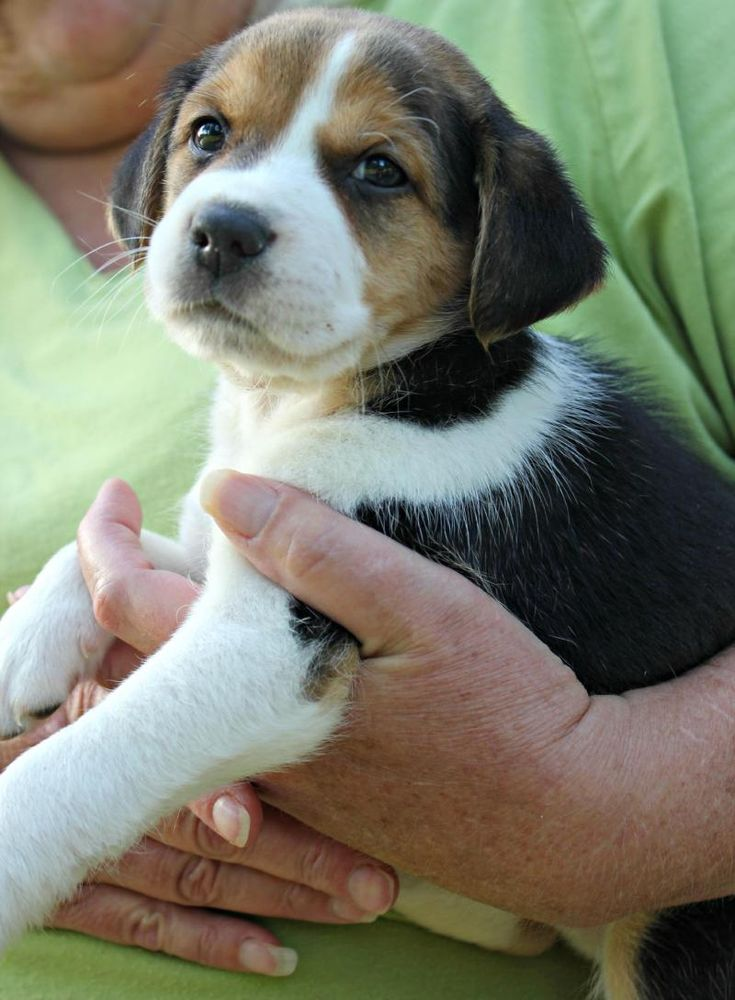 Meet Jasper, a Petfinder adoptable Beagle Dog New
