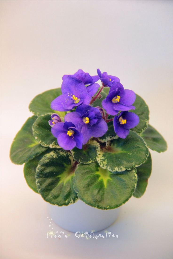 Saintpaulia African Violet Shirl's Purple Passion,By Linn Boa