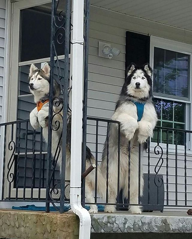 Watching your neighbor take down his trump sign knowing you shit on his lawn 3 times this week  Tag @dailypawwoof and your friends for the featured  Photo by @los3husketeers