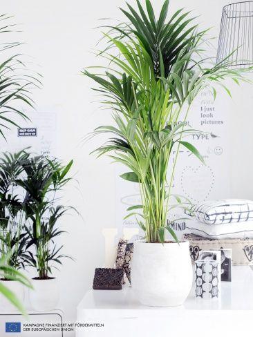 La palmier tropical Kentia nous communique bonne humeur, énergie et harmonie.