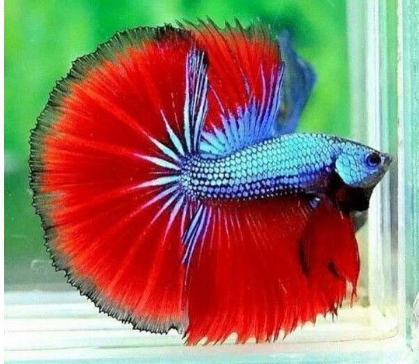 25 best ideas about cool fish on pinterest pretty fish for Cool fresh water fish