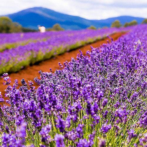 Lavender Farm In Tasmania Australia.